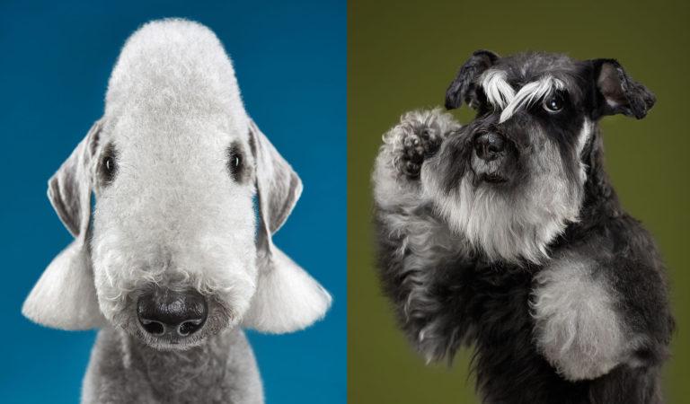 Úžasné portréty psích plemen, které musíte vidět!